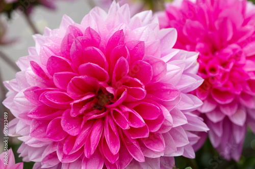 macro-shot-of-a-pink-dahlia-isolated
