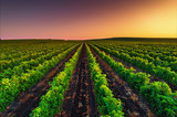 Beautiful Sunset over field of vineyard valley in Europe - 169923651