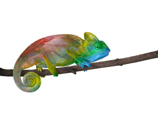 chameleon on a branch with a spiral tail. The colors of the rainbow