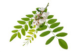 Acacia Branch with  flowers - 169931614