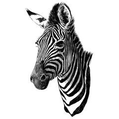 Zebra head sketch vector graphics monochrome drawing
