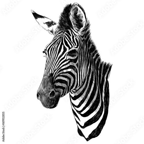 Zebra head sketch vector graphics monochrome drawing