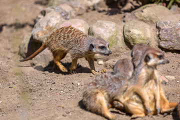 Meerkats in the wild