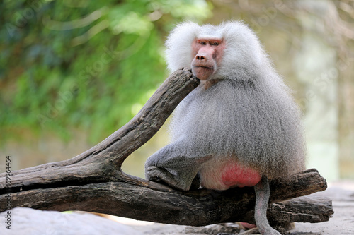 Aluminium Aap Male baboon