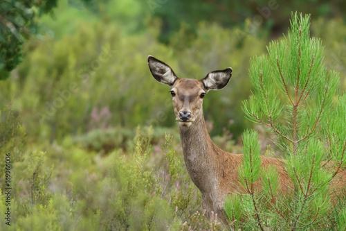 Fotobehang Hert Female deer looking at camera