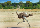 Fototapeta Sawanna - Ostrich running across the vast open plains in Hwange , Zimbabwe © paula