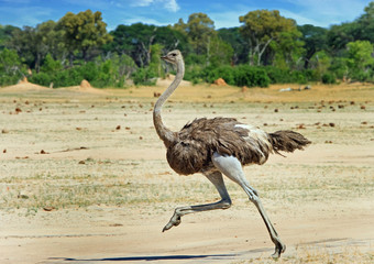 Ostrich running across the vast open plains in Hwange , Zimbabwe © paula
