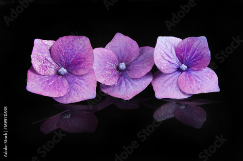 Fotobehang Hydrangea Individual hydrangea flowers with reflections on black