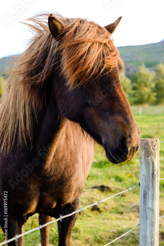 horse with long hair hiding its eyes Poster