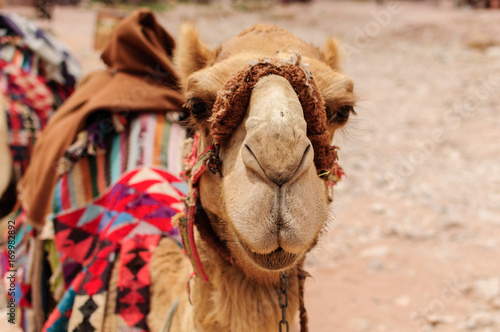 Fotobehang Kameel Camel Portrait