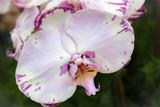White & pink flower 1