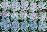 Fototapety Dreamy cute botanical california succulents in pots arranged in a tray at a greenhouse ready for an urban garden