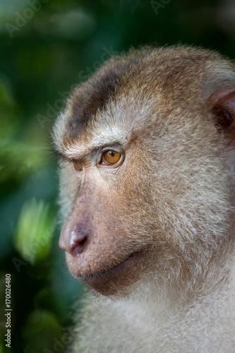 Aluminium Aap Detail Portrait von einem Makaken Afffen welcher auch long tailed, crab-eating or cynomolgus macaque genannt wird
