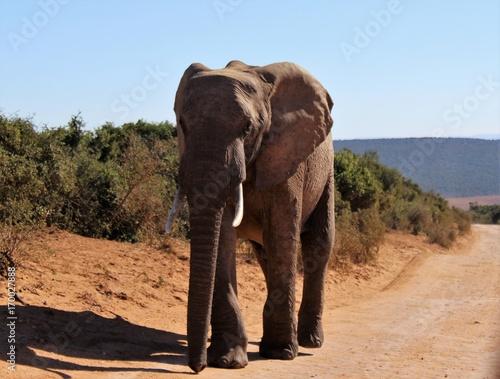 Elefant im Addo Elephant National Park, Südafrika Poster