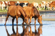 Two sorrel horses drinking water on watering place