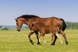Sorrel mare and foal on the floral meadow - 170035084