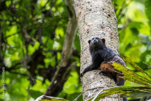 Aluminium Aap Totenkopfaffe im Tambopata Regenwald, Peruanischer Amazonas