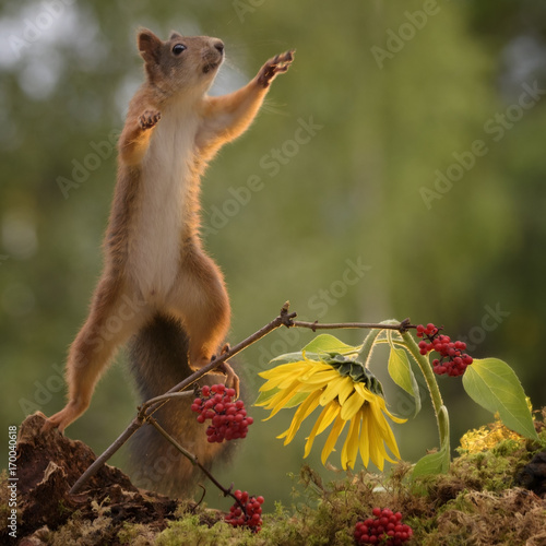 Wall mural squirrel with sunflower and berries