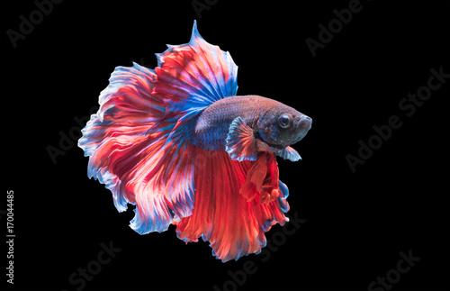 Fotobehang Thailand Betta splendens, beautiful fighting fish isolated