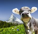 Kuh mit Matterhorn