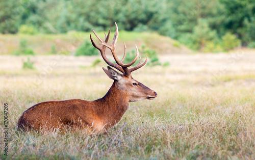 Fotobehang Hert Deer sitting in a forest