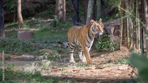 Fotobehang Tijger tiger in the Zoo
