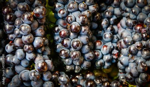 Grapes harvest © larcobasso