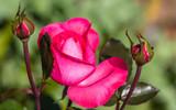 Rosa close up.