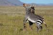 Cape mountain zebra stallions (Equus zebra) fighting, Mountain Zebra National Park, South Africa.