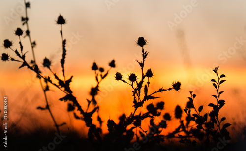 Foto Murales Silhouette of grass on a golden sunset