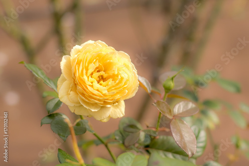 Michelangelo; Hybrid Tea Rose, Yellow Rose Originally Produced by the Breeder Me Poster