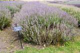 Princess Blue Lavender plants with label