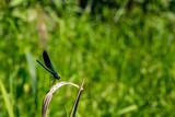 Niebieska ważka na zielonym liściu