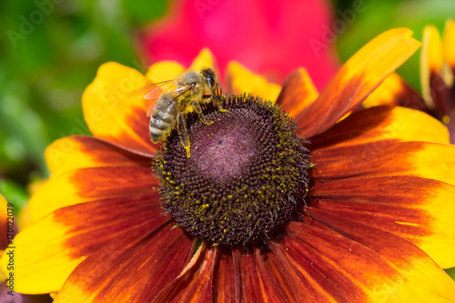 bee on a flower © great_photos