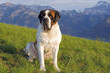 Saint Bernard Dog sitting in meadow with Swiss Alps in background