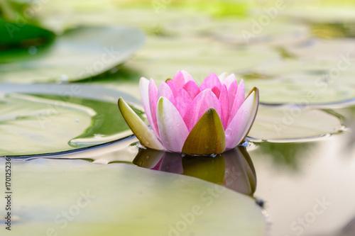 Seerose mit Spiegelung im Wasser - Idylle im Teich Poster