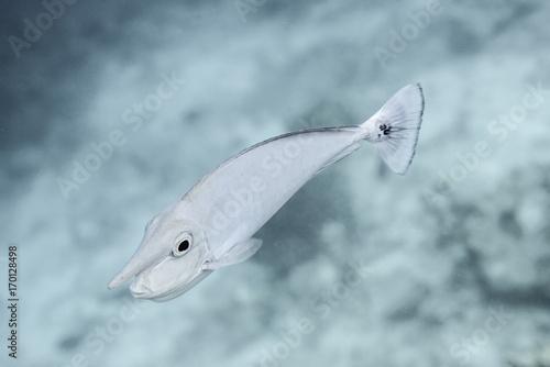 unicorn fish Poster