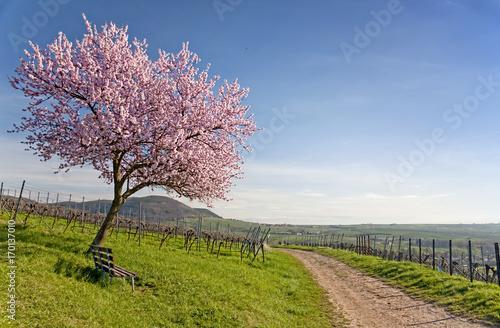 Leinwanddruck Bild Frühling an der Deutschen Weinstraße