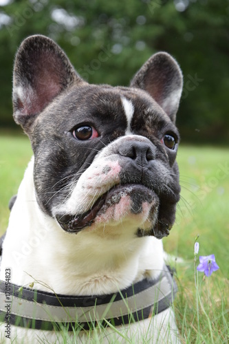 Foto op Canvas Franse bulldog Bouledogue français surpris