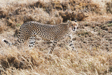 Cheetah in Serengeti National Park, Tanzania.