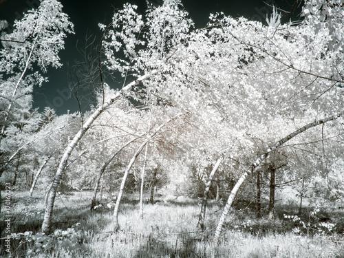 Papiers peints Bosquet de bouleaux Twisted trunks of birches. Infrared photography