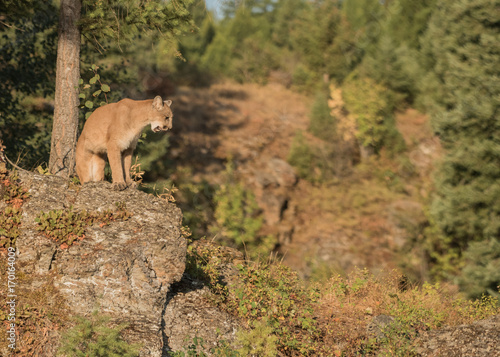 Fotobehang Lion Mountain Lion