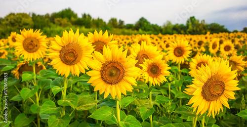 Fototapeta Sunflower field landscape
