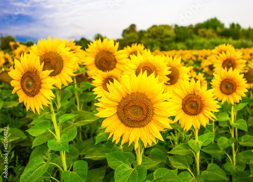 Sunflowers field before storm