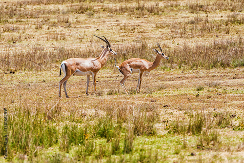 Impala antelopes in Africa Poster