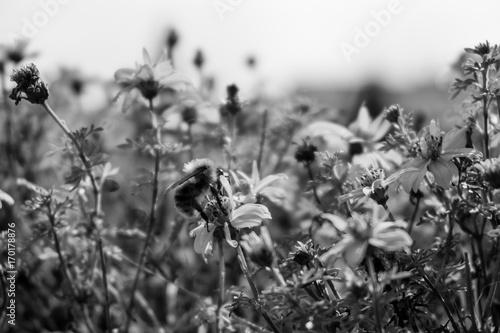 Black and White Bee © fiHaue