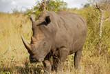 Rhino in the Bush