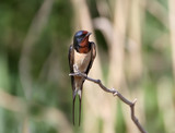 One barn swallow sits on the reed. - 170179401
