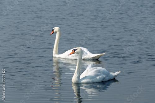 Fotobehang Zwaan pair of white swans
