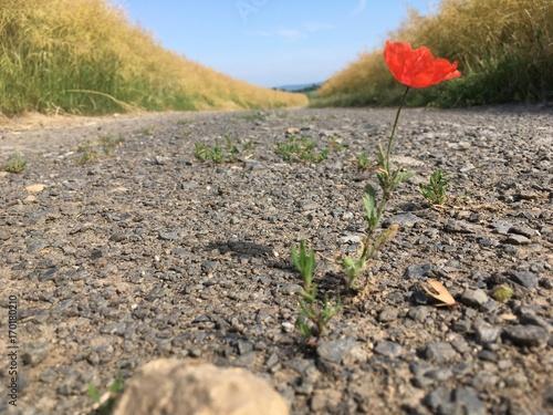 Foto op Plexiglas Beige Mohnblume auf Feldweg